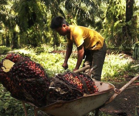 Palmolieschandaal: multinationals profiteren van kinderarbeid en uitbuiting
