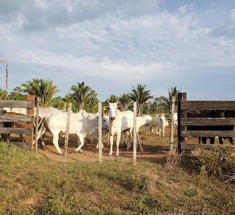 Illegale veehouderij in Brazilië
