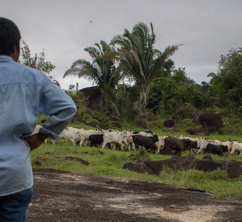 Een inheemse man kijkt naar vee dat graast op ontbost gebied in de Amazone